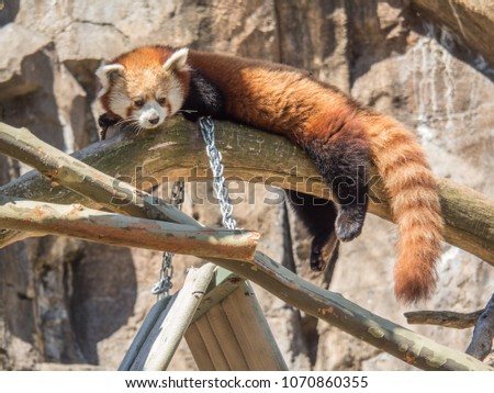 Red panda napping in a tree #1070860355
