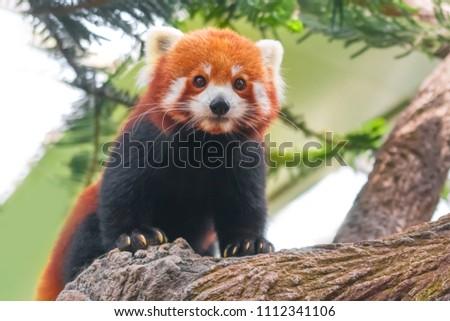 Stock Photo Red panda on the tree