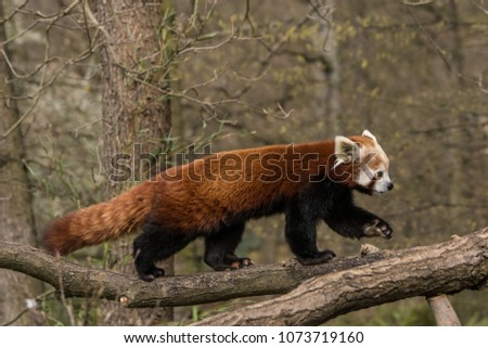 Stock Photo Red panda on the tree, walking on the branch