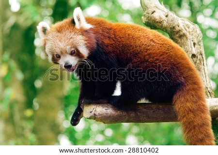 Red panda on the tree with the green bushes on the background