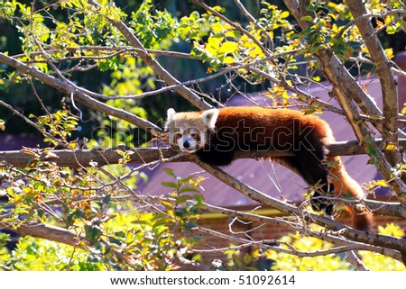 Red Panda poking its tongue out while resting on tree branch.  Ailurus fulgens - Adelaide Zoo, Australia
