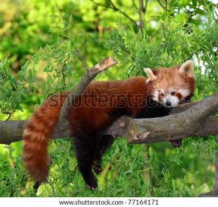 red panda,shining cat