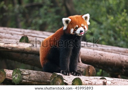 Red panda sticking out tongue