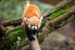 Red panda walking on the tree
