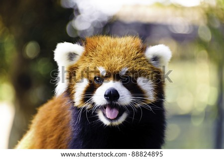 Red Panda with smile in Asia.