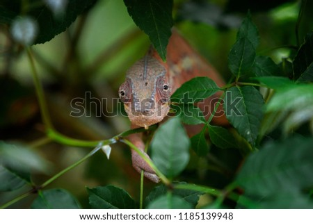 Stock Photo Red Panther chameleon
