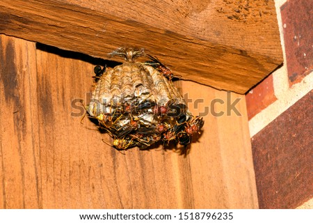 red paper wasps, Polistes carolina, on a large nest suspended from a fence