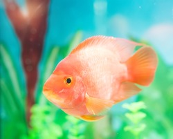 red parrot cichlid in aquarium plant green background.