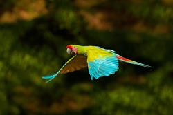 Red parrot in flight. Great Green Macaw, Ara ambigua, in tropical forest, Costa Rica, Wildlife scene from tropical nature.