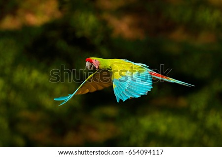 Shutterstock Red parrot in fly. Great Green Macaw, Ara ambigua, in tropical forest, Costa Rica, Wildlife scene from tropic nature.