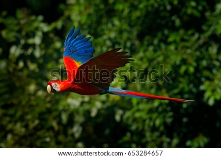 Shutterstock Red parrot in fly. Scarlet Macaw, Ara macao, in tropical forest, Costa Rica, Wildlife scene from tropic nature. Red bird in the forest. Parrot flight in the green jungle habitat.