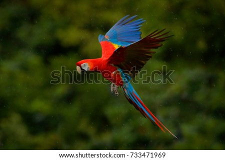 Stock Photo Red parrot in rain. Macaw parrot flying in dark green vegetation. Scarlet Macaw, Ara macao in flight in tropical forest, Costa Rica. Wildlife scene from tropic nature.