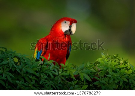Red parrot Scarlet Macaw, Ara macao, bird sitting on the branch, Amazon, Brazil. Wildlife scene from tropical forest. Beautiful parrot on tree in nature habitat. Cute animal in the forest. #1370786279