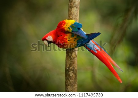 Red parrot Scarlet Macaw, Ara macao, bird sitting on the branch, Peru. Wildlife scene from tropical forest. Beautiful parrot on green tree in nature habitat. Macaw with long tail.