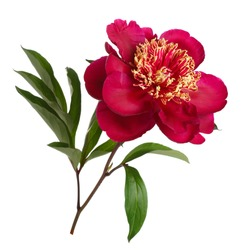 Red peanut flower peony isolated on white background.