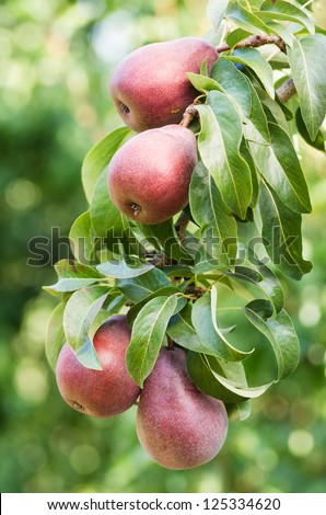 Red pears growing in the pear orchard