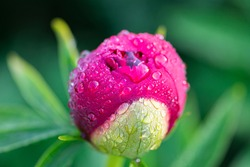 Red peony Bud with dew drops, close-up. Macro-flower Bud with morning moisture, selective focus. Spring flowers and morning dew. Selective focus.