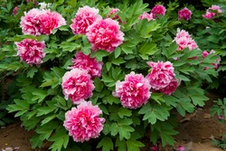 Red Peony flower (Paeonia suffruticosa, tree peony, mudan flower). Peony flower is ornamental plant native to China and is an important symbol in Chinese culture.