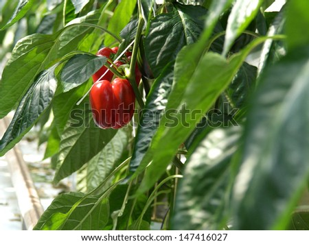 Red peppers growing in a greenhouse