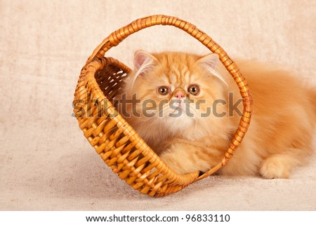 Red Persian cat playing with brown wicker basket