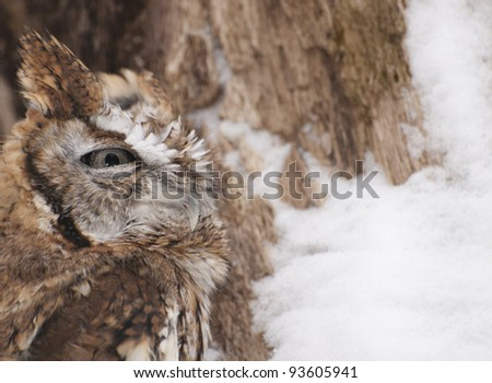 Red Phased Eastern Screech owl camouflaged against the bark of a tree covered with winter snow.