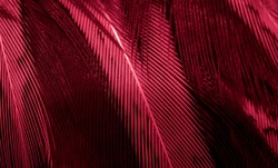 red pheasant feathers with a visible texture. background