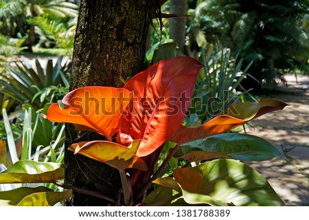 Red philodendron or Blushing philodendron (Philodendron erubescens), Minas Gerais, Brazil                               #1381788389