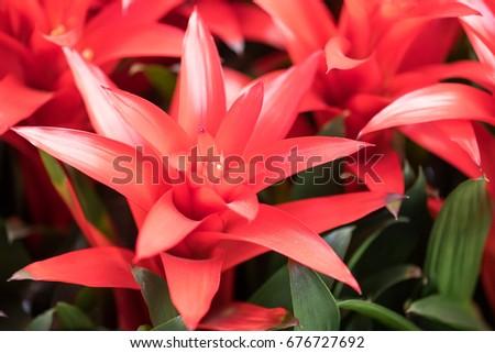 red pineapple flower blooming in garden, bromeliad flower