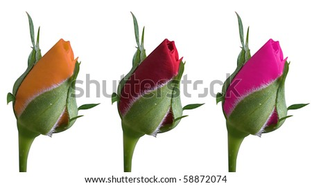 red, pink and orange roses isolated on white