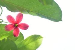 red ,pink flower ,Combretum indicum (Akar Dani, Drunken Sailor, Rangoon Creeper) bokeh background , shallow dept of field and soft focus process, natural background.. shallow focus