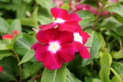 Red pink flowers in the garden, Madagascar periwinkle, Thailand