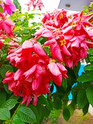 Red pink Musanda flower with tree