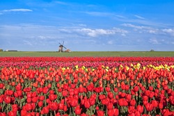 red, pink, yellow tulip fields and  Dutch windmil, Alkmaar, North Hollandl