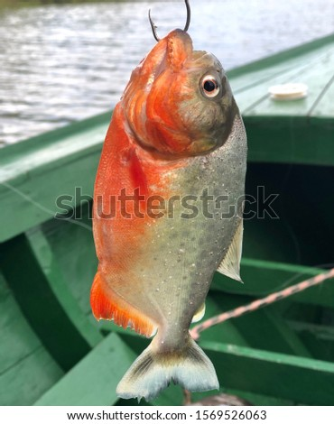 Red piranha hooked on hook #1569526063