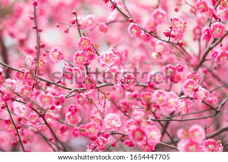 Red plum blossom in spring. Plum blossom is the top ten famous flowers in China. Stock photo ©