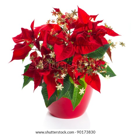 red poinsettia. christmas flower with golden decoration on white background