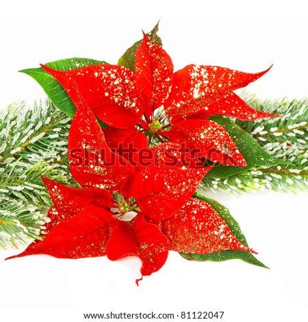 Red Poinsettia. Christmas flowers