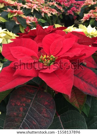 Red Poinsettia Closeup with White and Pink Poinsettias in Background (Vertical)