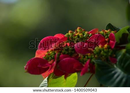 Red Poinsettia, Euphorbia Pulcherrima, Christmas star selective focus at garden.