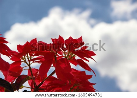 Red poinsettia flower in sky background.