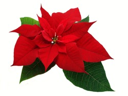 Red poinsettia flower isolated