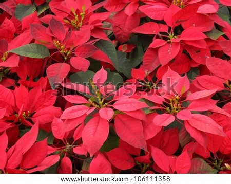 red Poinsettia flower or Chrismas flower for background.