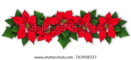 Red Poinsettia flowers in row, Euphorbia pulcherrima, christmas ornament