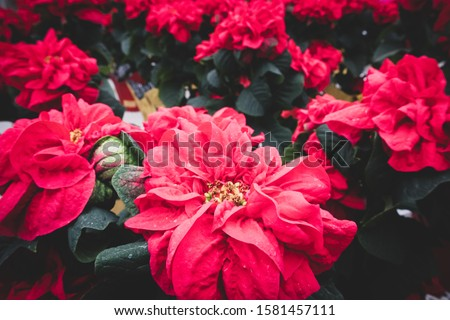 Red Poinsettia Flowers with Wrinkly Petals