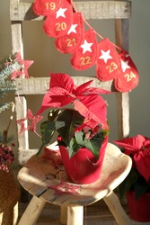 Red poinsettia in a ceramic pot on the background of a wooden staircase. Flower Christmas star.