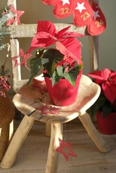 Red poinsettia in a ceramic pot on the old bench