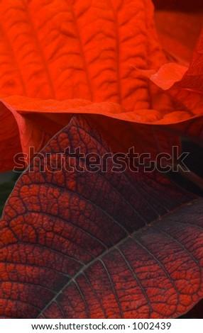 Red poinsettia leaves macro