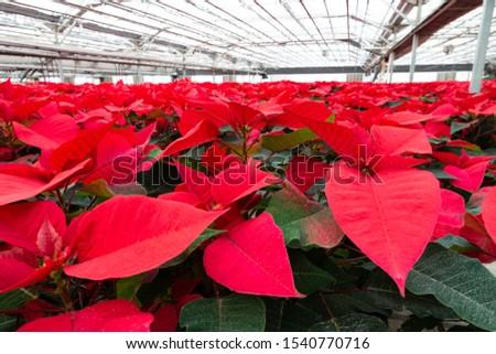 Red poinsettia petals closeup. View from below inside garden center greenhouse.