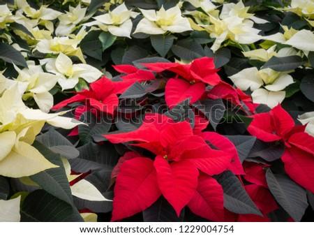 Red poinsettia plants and white poinsettias. Christmas wallpaper.