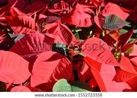 Red poinsettia, traditional colourful Christmas pot plants, for sale in a garden centre